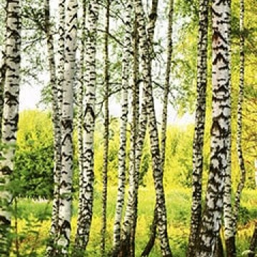 Poszter, erdő 375x250 / 225x250 cm / 150x250 cm (0094)